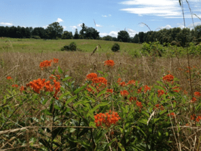 Butterfly weed in the meadows of Airlie. Photo by Jordan Wright.