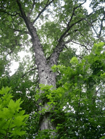 Shagbark Hickory Oak.