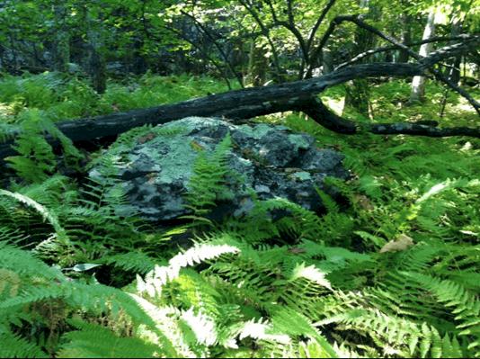Ferns along Stony Man Trail.