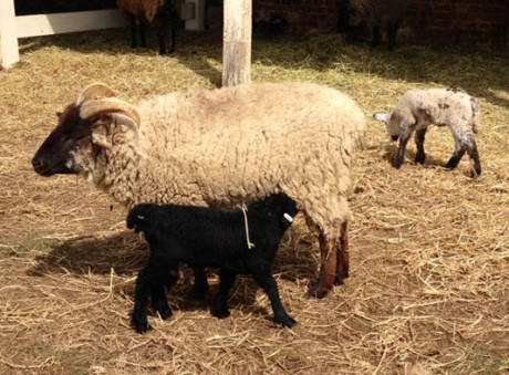 Heritage breed baby lambs with mother.